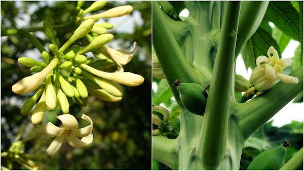 Mamão - flores macho e fêmea