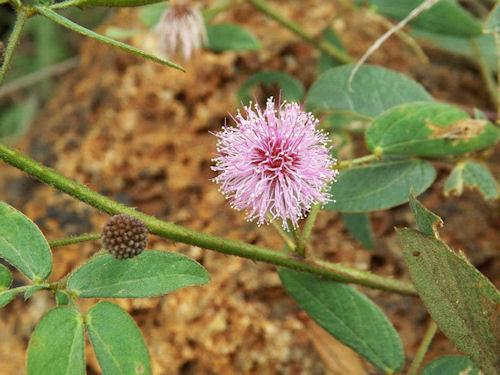 Bracatinga-de-campo-mourão (Mimosa Flocculosa)