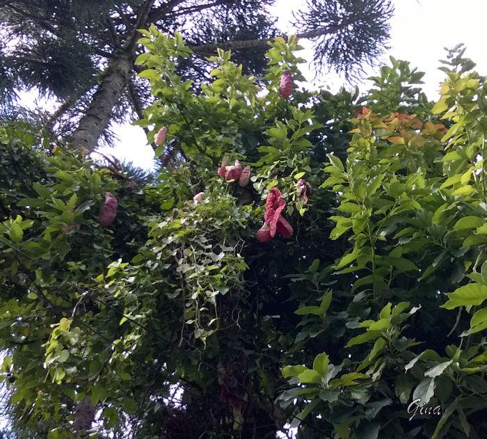 Papo-de-peru (Aristolochia gigantea)