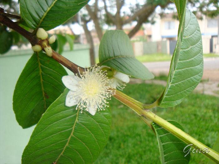 Flor da goiabeira