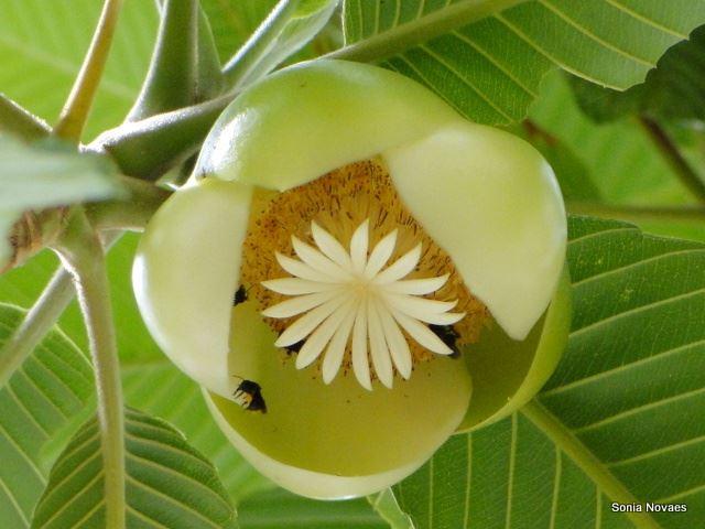 Dillenia indica (flor-de-abril)