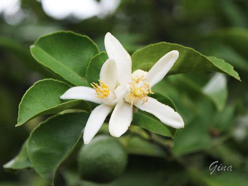 Flor do limão
