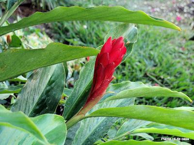 Gengibre vermelho