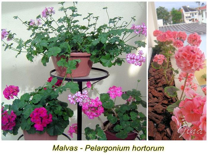 flores o ano todo, tenha malvas – Pelargonium hortorum (nos vasos