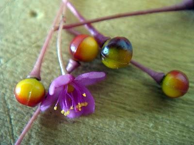 Flor de beldroega