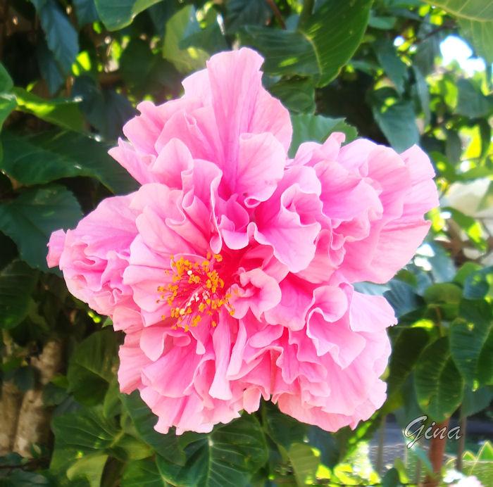 Hibisco rosa dobrado