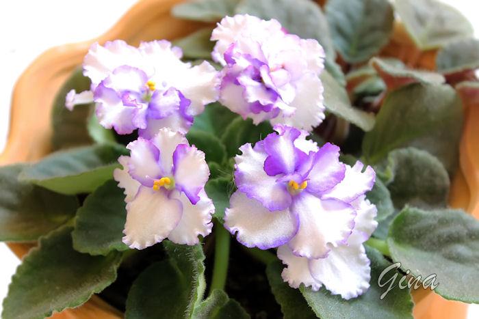 Violeta lilás e branca