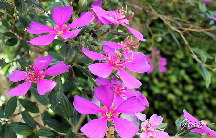 Tibouchina granulosa (quaresmeira)