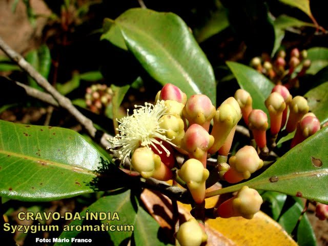 Cravo-da-índia (Syzygium aromaticum)