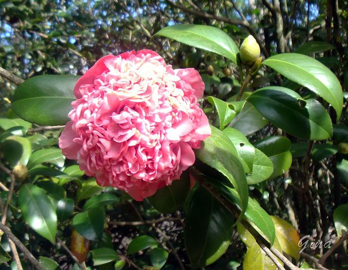 Camélia rosa dobrada (Camellia japonica)