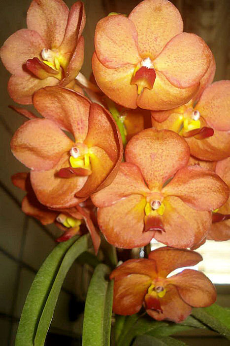 Orquídea Ascocenda suksamran sunlight tangerine