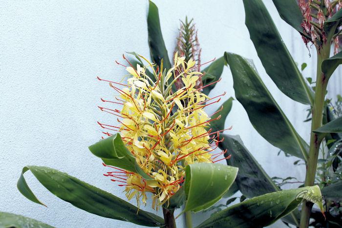 Gengibre amarelo (Hedychium gardnerianum)