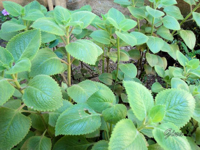 Bombocado-de-gato (Nepeta cataria)