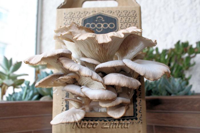 Cogumelo ostra marrom (Pleurotus pulmonarius)