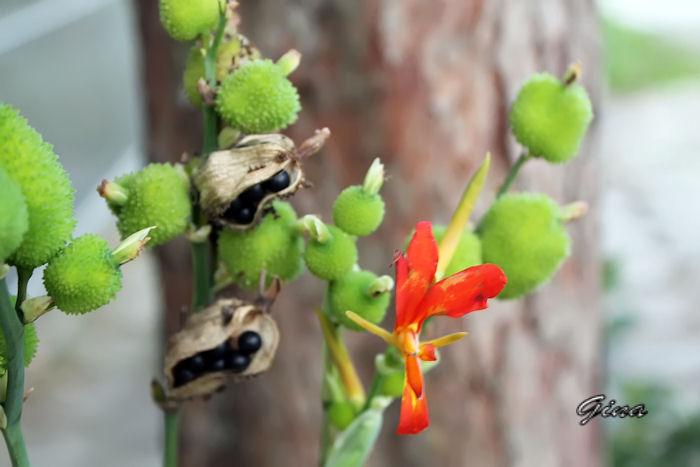 Canna indica (beri silvestre)