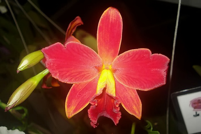 Cattleya-chocolate