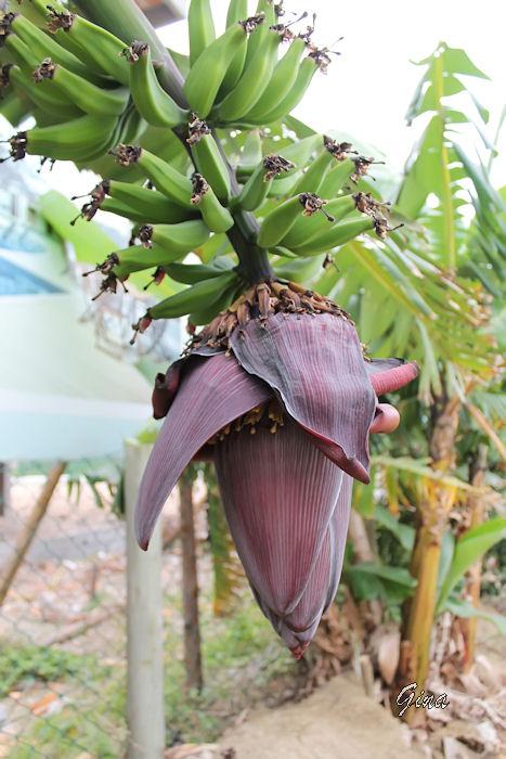 Flor da bananeira