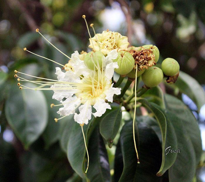 Dedaleiro (Lafoensia pacari)
