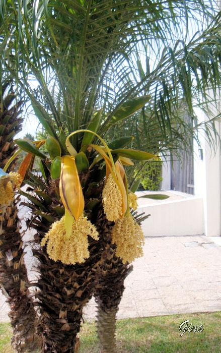 Tamareira-de-jardim (Phoenix roebelinii)
