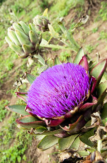Flor da alcachofra (Cynara scolymus)