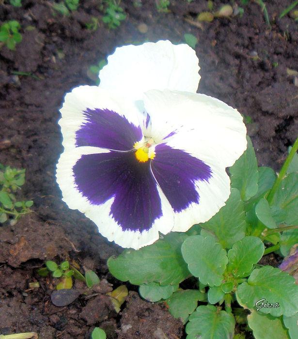 Amor-perfeito (Viola wittrockiana)