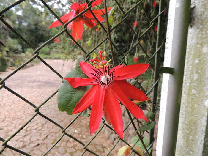 Maracujá rajado (Passiflora vitifolia)