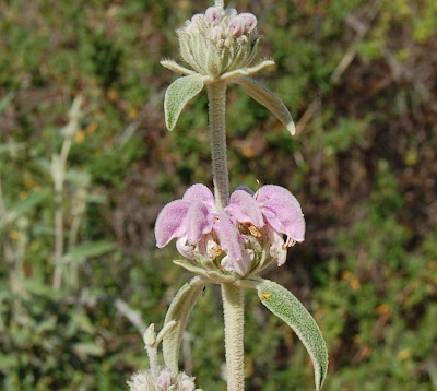 Mariola (Phlomis purpurea)