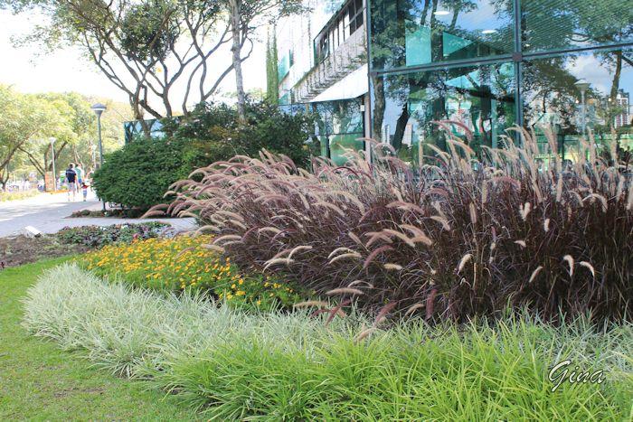 Capim-do-texas (Pennisetum setaceum)