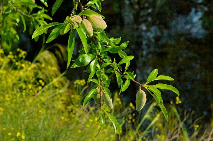 Amendoeira (Prunus dulcis)