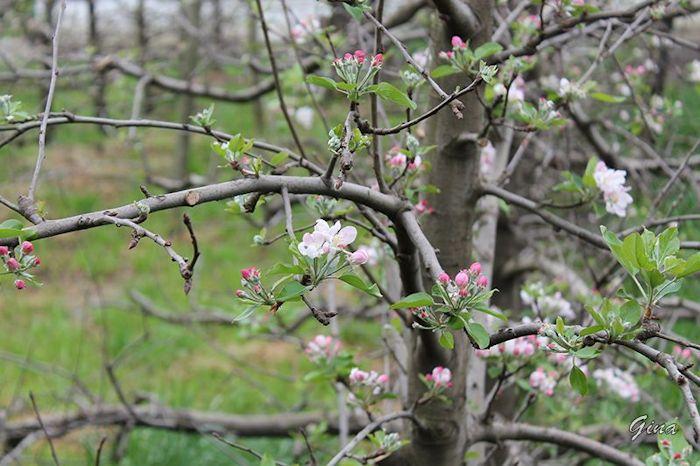 Macieira em flor
