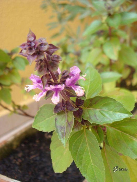 Flor do manjericão roxo