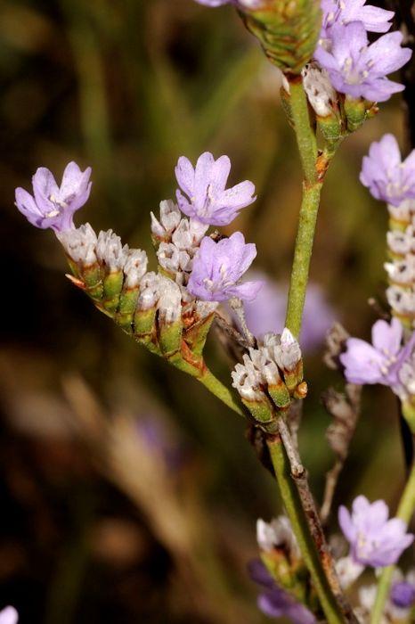 Alfazema-de-mar da rocha (Limonium binervosum)