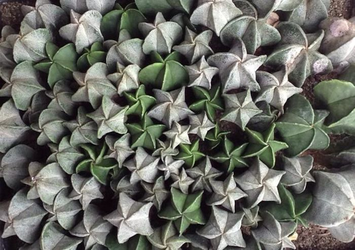 Boné-de-bispo (Astrophytum myriostigma)