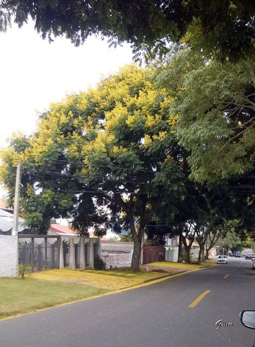 Farinha-seca (Peltophorum dubium)