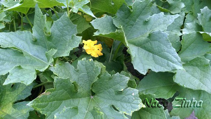 Aboboreira em flor