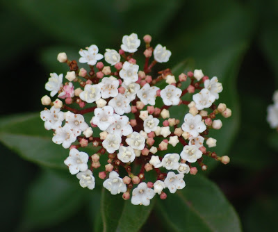 Folhado (Viburnum tinus)