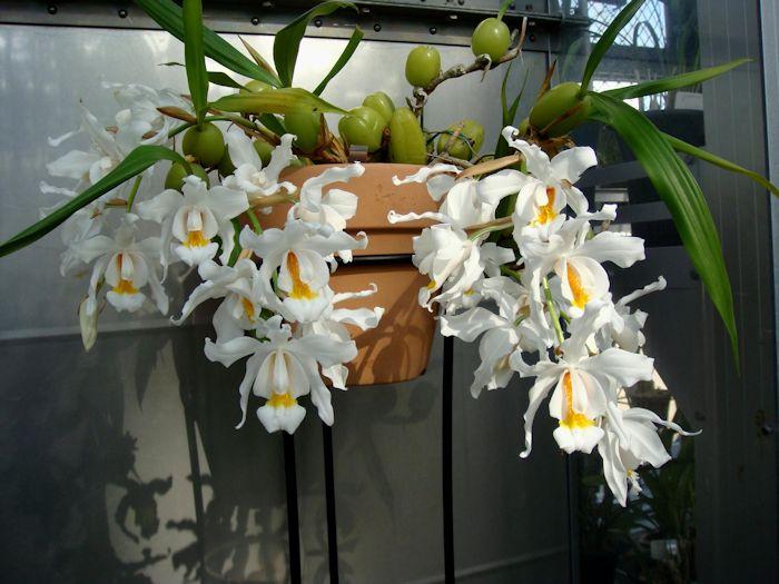 da Ásia Também conhecida como orquídeabranca e orquídeaanjo