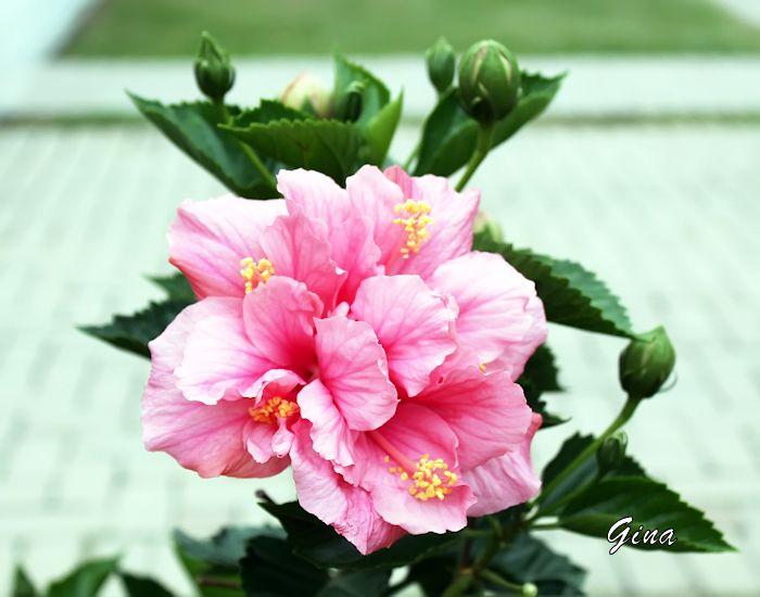 Hibisco (Hibiscus rosa-sinensis)