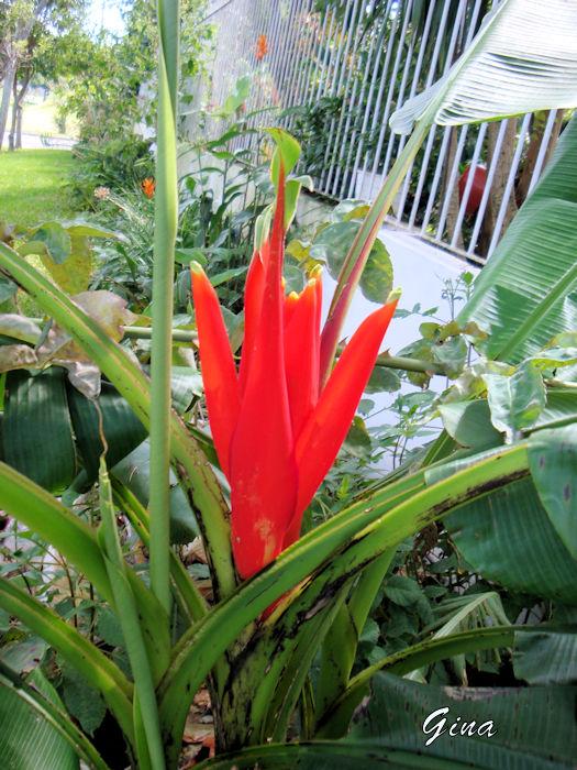 Banana-vermelha (Musa coccinea)