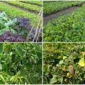 Brooklyn Grange Farm, uma horta genial