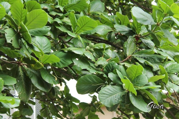 Amendoeira (Terminalia catappa)