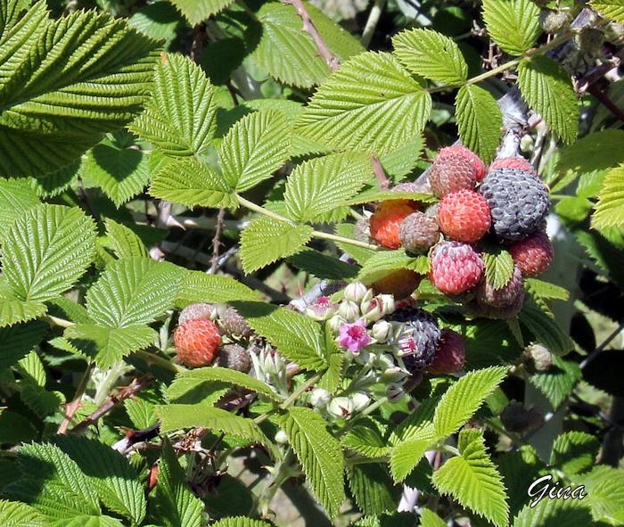 Framboesa preta (Rubus niveus)