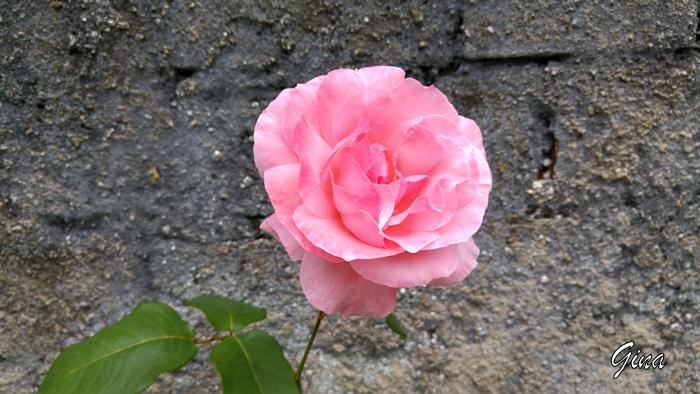 Rosa grande cor-de-rosa