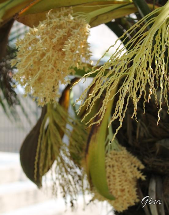 Tamareira-de-jardim (Phoenix roebelenii)