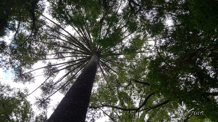 Araucária (Araucaria augustifolia)