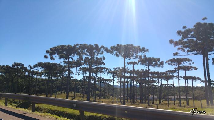 Araucárias na estrada (Araucaria angustifolia)