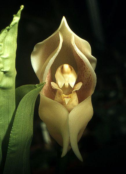Orquídea bebê-no-berço (Anguloa uniflora)