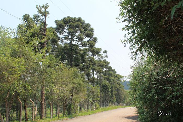 Araucárias (Araucaria angustifolia)