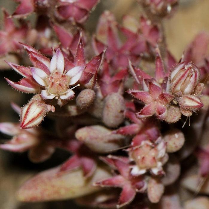 Arroz-dos-telhados vermelho (Sedum rubens)