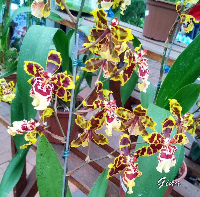 Orquídea Colmanara wildcat